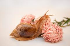 σαλιγκάρι asters achatina Στοκ εικόνες με δικαίωμα ελεύθερης χρήσης