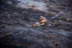 Σαλιγκάρι Broun στο ξύλο 2 στοκ φωτογραφία με δικαίωμα ελεύθερης χρήσης