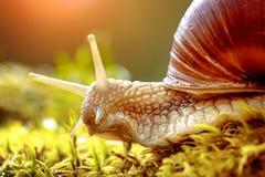 Σαλιγκάρι pomatia ελίκων ρωμαϊκό επίσης, Burgundy σαλιγκάρι Στοκ φωτογραφίες με δικαίωμα ελεύθερης χρήσης