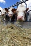 σανός αγελάδων Στοκ Φωτογραφία