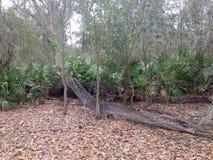 Σαν αλλιγάτορας δέντρο Στοκ φωτογραφίες με δικαίωμα ελεύθερης χρήσης