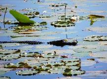 Σαν αλλιγάτορας κινηματογράφηση σε πρώτο πλάνο στη λίμνη Orton Στοκ εικόνα με δικαίωμα ελεύθερης χρήσης