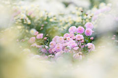 σαν όμορφη πορφύρα λουλο& Στοκ Εικόνες