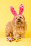 σαν bunny σκυλί Πάσχα Στοκ Φωτογραφίες