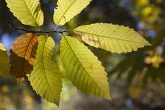 σαν floral καλά φύλλα κάστανων ανασκόπησης Στοκ εικόνες με δικαίωμα ελεύθερης χρήσης