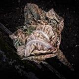 Σαπίζοντας λάχανο Στοκ Φωτογραφίες