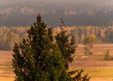 Σαράντα κάθονται σε μια fir-tree κορυφή στοκ φωτογραφία