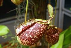 σαρκοφάγο φυτό σταμνών στοκ εικόνες