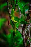 σαρκοφάγο φυτό σταμνών Albomarginata Nepenthe ` s στο τροπικό δάσος στο εθνικό πάρκο Bako sarawak _ Μαλαισία Στοκ φωτογραφία με δικαίωμα ελεύθερης χρήσης