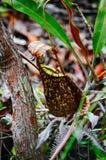 σαρκοφάγο φυτό σταμνών Albomarginata Nepenthe ` s στο τροπικό δάσος στο εθνικό πάρκο Bako sarawak _ Μαλαισία Στοκ εικόνες με δικαίωμα ελεύθερης χρήσης