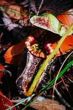 σαρκοφάγο φυτό σταμνών Albomarginata Nepenthe ` s στο τροπικό δάσος στο εθνικό πάρκο Bako sarawak _ Μαλαισία Στοκ Φωτογραφίες