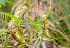 σαρκοφάγο φυτό σταμνών Albomarginata Nepenthes Στοκ εικόνες με δικαίωμα ελεύθερης χρήσης