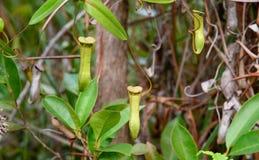 σαρκοφάγο φυτό σταμνών Albomarginata Nepenthes Στοκ φωτογραφία με δικαίωμα ελεύθερης χρήσης