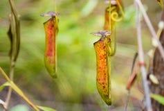 σαρκοφάγο φυτό σταμνών Albomarginata Nepenthes Στοκ Εικόνα
