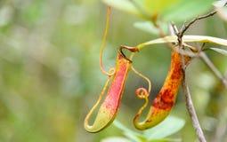 σαρκοφάγο φυτό σταμνών Albomarginata Nepenthes Στοκ φωτογραφίες με δικαίωμα ελεύθερης χρήσης