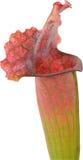 σαρκοφάγο φυτό Στοκ φωτογραφίες με δικαίωμα ελεύθερης χρήσης