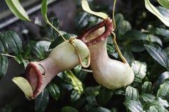 σαρκοφάγο φυτό Στοκ εικόνα με δικαίωμα ελεύθερης χρήσης