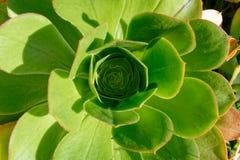 Σαρκώδης, πράσινος succulent, εξετάζοντας την καρδιά του στοκ φωτογραφία με δικαίωμα ελεύθερης χρήσης