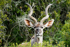 Σας βλέπω - τα μεγαλύτερα strepsiceros Kudu - Tragelaphus Στοκ Εικόνες