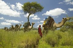 Σαφάρι καμηλών με τους πολεμιστές Masai που οδηγούν τις καμήλες μέσω των πράσινων λιβαδιών της συντήρησης άγριας φύσης Lewa, βόρε Στοκ Φωτογραφίες
