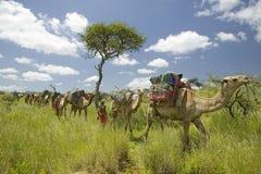 Σαφάρι καμηλών με τους πολεμιστές Masai που οδηγούν τις καμήλες μέσω των πράσινων λιβαδιών της συντήρησης άγριας φύσης Lewa, βόρε Στοκ Φωτογραφία