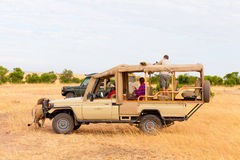 Σαφάρι με τα λιοντάρια, Αφρική Στοκ φωτογραφία με δικαίωμα ελεύθερης χρήσης
