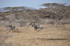 Σαφάρι-περιπέτεια: Ζέβρα-ορμή στο εθνικό πάρκο Samburu, στοκ φωτογραφία με δικαίωμα ελεύθερης χρήσης
