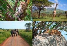 σαφάρι της Αφρικής ζώα που τίθενται άγρια Στοκ Εικόνες