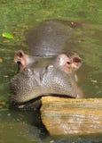 σαφάρι της Ινδονησίας hippo taman Στοκ φωτογραφίες με δικαίωμα ελεύθερης χρήσης