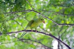 Σαφές parakeet ή tirica Brotogeris Στοκ Φωτογραφίες
