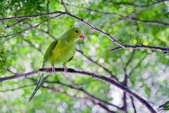 Σαφές parakeet ή tirica Brotogeris Στοκ εικόνες με δικαίωμα ελεύθερης χρήσης