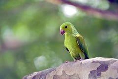 Σαφές parakeet ή tirica Brotogeris Στοκ Φωτογραφία