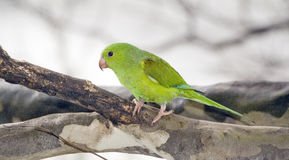 Σαφές parakeet κάτω από τη σκιά του φυλλώδους δέντρου Στοκ Φωτογραφίες