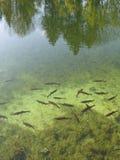 σαφής λίμνη ψαριών Στοκ Εικόνα