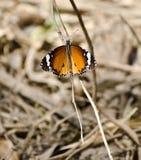 Σαφής πεταλούδα τιγρών στοκ εικόνα με δικαίωμα ελεύθερης χρήσης
