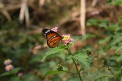 Σαφής πεταλούδα τιγρών στοκ φωτογραφία με δικαίωμα ελεύθερης χρήσης