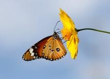 σαφής τίγρη πεταλούδων Στοκ φωτογραφία με δικαίωμα ελεύθερης χρήσης