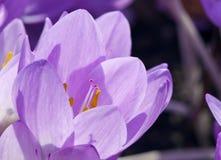 Σαφράνι κρόκων ή λιβαδιών φθινοπώρου ή γυμνή κυρία Στοκ εικόνες με δικαίωμα ελεύθερης χρήσης