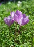 Σαφράνι λιβαδιών Colchicum autumnale Στοκ Εικόνα