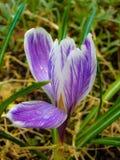 Σαφράνι λουλουδιών (κρόκος) Στοκ Φωτογραφία