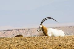 Σαχάρα oryx Στοκ φωτογραφία με δικαίωμα ελεύθερης χρήσης