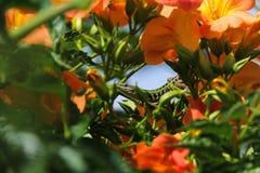 Σαύρα μεταξύ των πορτοκαλιών λουλουδιών Στοκ φωτογραφίες με δικαίωμα ελεύθερης χρήσης