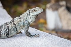 Σαύρα μπλε βράχου Baja, thalassinus Petrosaurus, που στον ήλιο Στοκ Φωτογραφίες