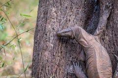 Σαύρα οργάνων ελέγχου σε μια κινηματογράφηση σε πρώτο πλάνο δέντρων Στοκ εικόνα με δικαίωμα ελεύθερης χρήσης