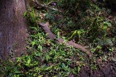 Σαύρα οργάνων ελέγχου στο δάσος Στοκ φωτογραφία με δικαίωμα ελεύθερης χρήσης