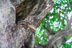 Σαύρα οργάνων ελέγχου της Βεγγάλης στην τρύπα δέντρων Στοκ εικόνα με δικαίωμα ελεύθερης χρήσης