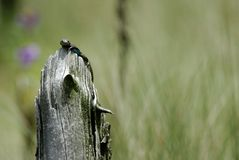 Σαύρα που προσέχει τον εισβολέα r στοκ φωτογραφία με δικαίωμα ελεύθερης χρήσης