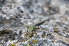Σαύρα που σέρνεται στο βράχο wildlife Ζώα r στοκ εικόνες