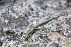 Σαύρα που σέρνεται στο βράχο wildlife Ζώα r στοκ φωτογραφίες με δικαίωμα ελεύθερης χρήσης