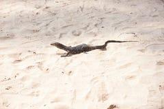 Σαύρα στην άμμο Στοκ Εικόνες